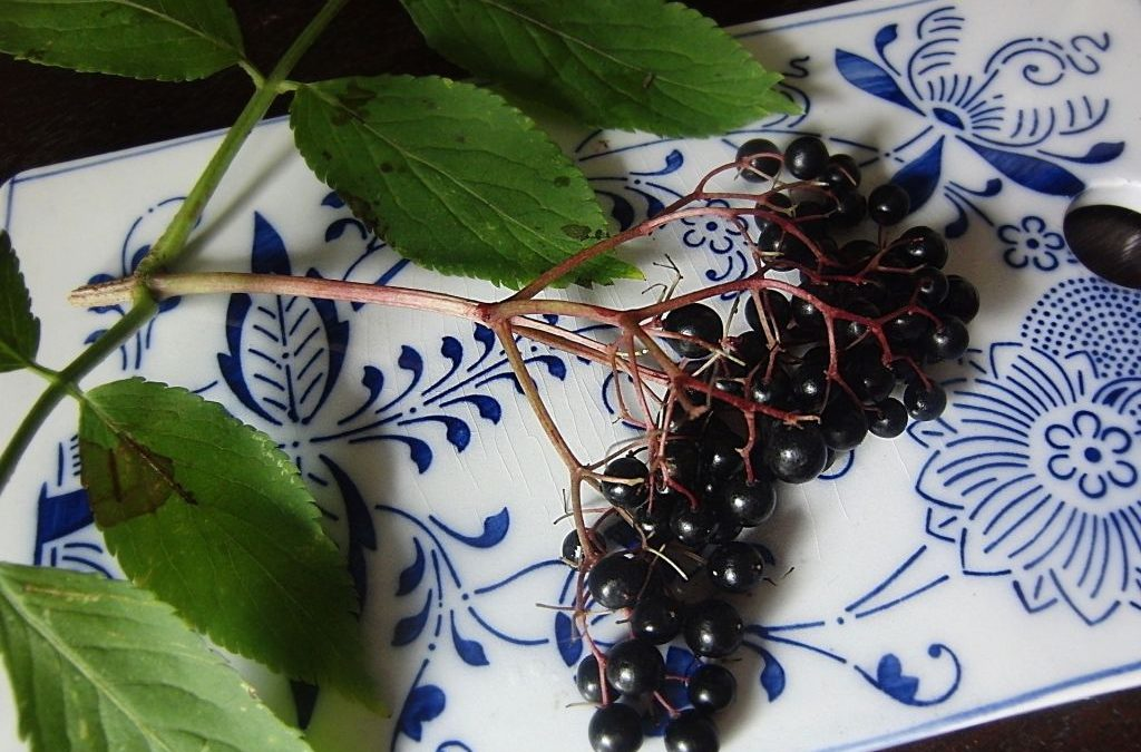 Black Elderberry 3opt